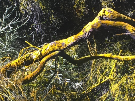 Yellow branch from sulfar