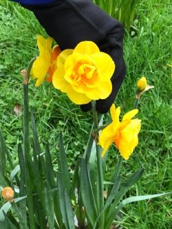 New Zealand yellow daffodils