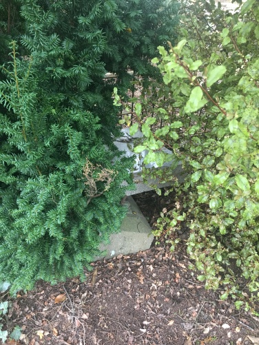 shrubbery over Johns gravestone